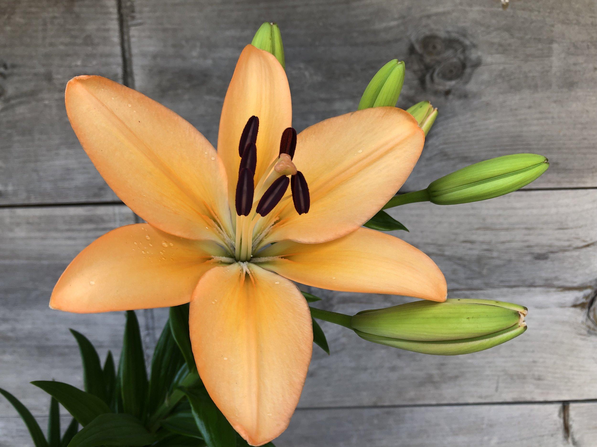 Lily, LA Hybrid Menorca