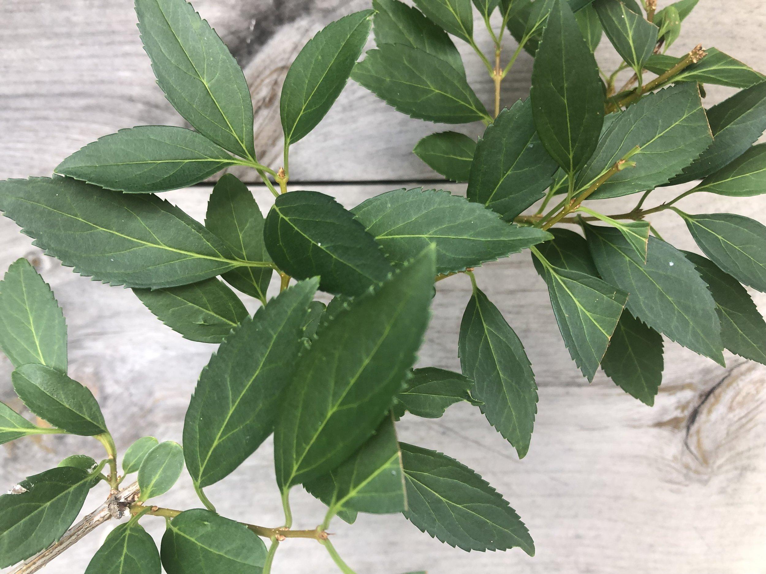 Foliage, Forsythia