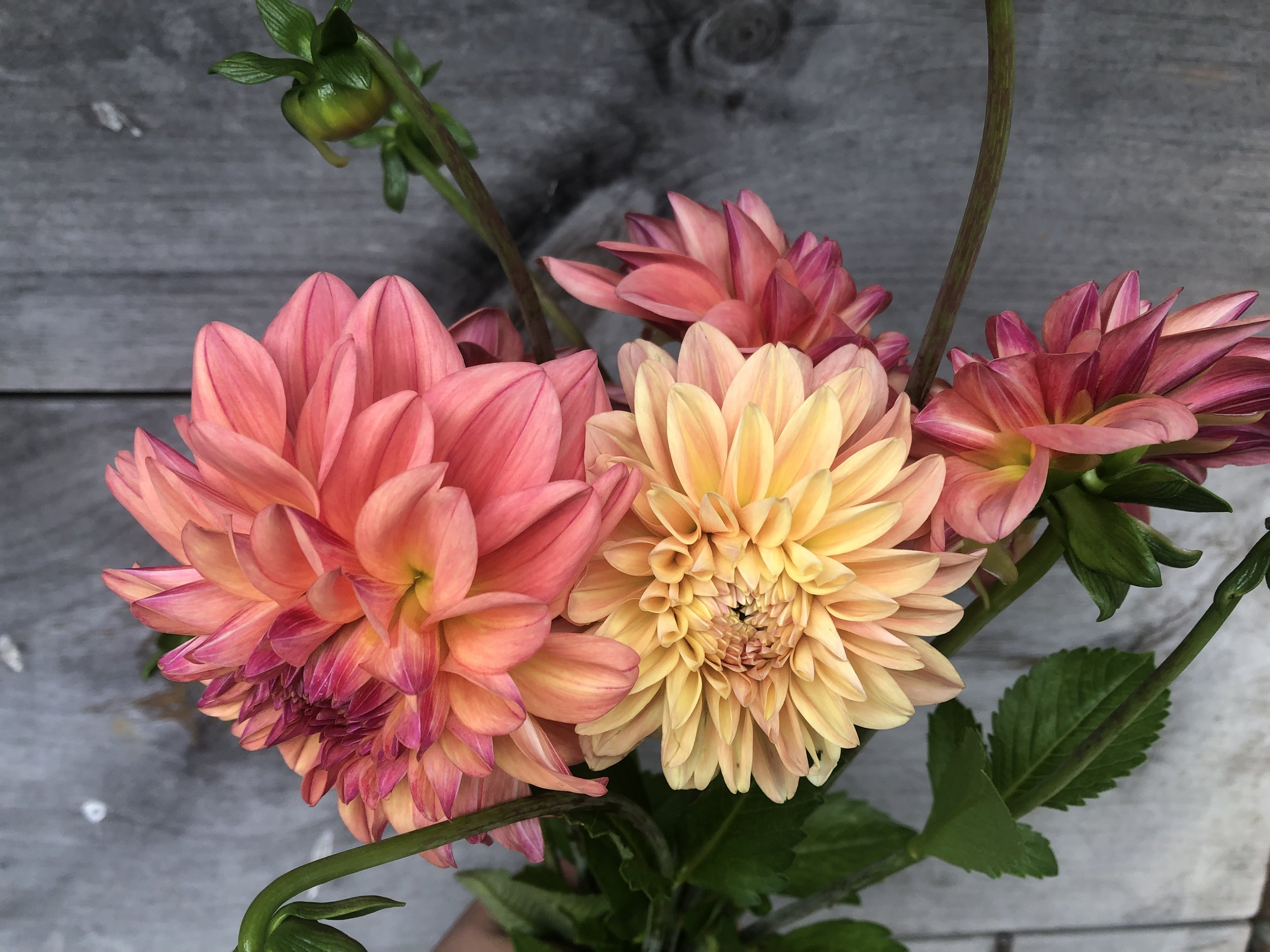 Dahlia, Chricton Honey