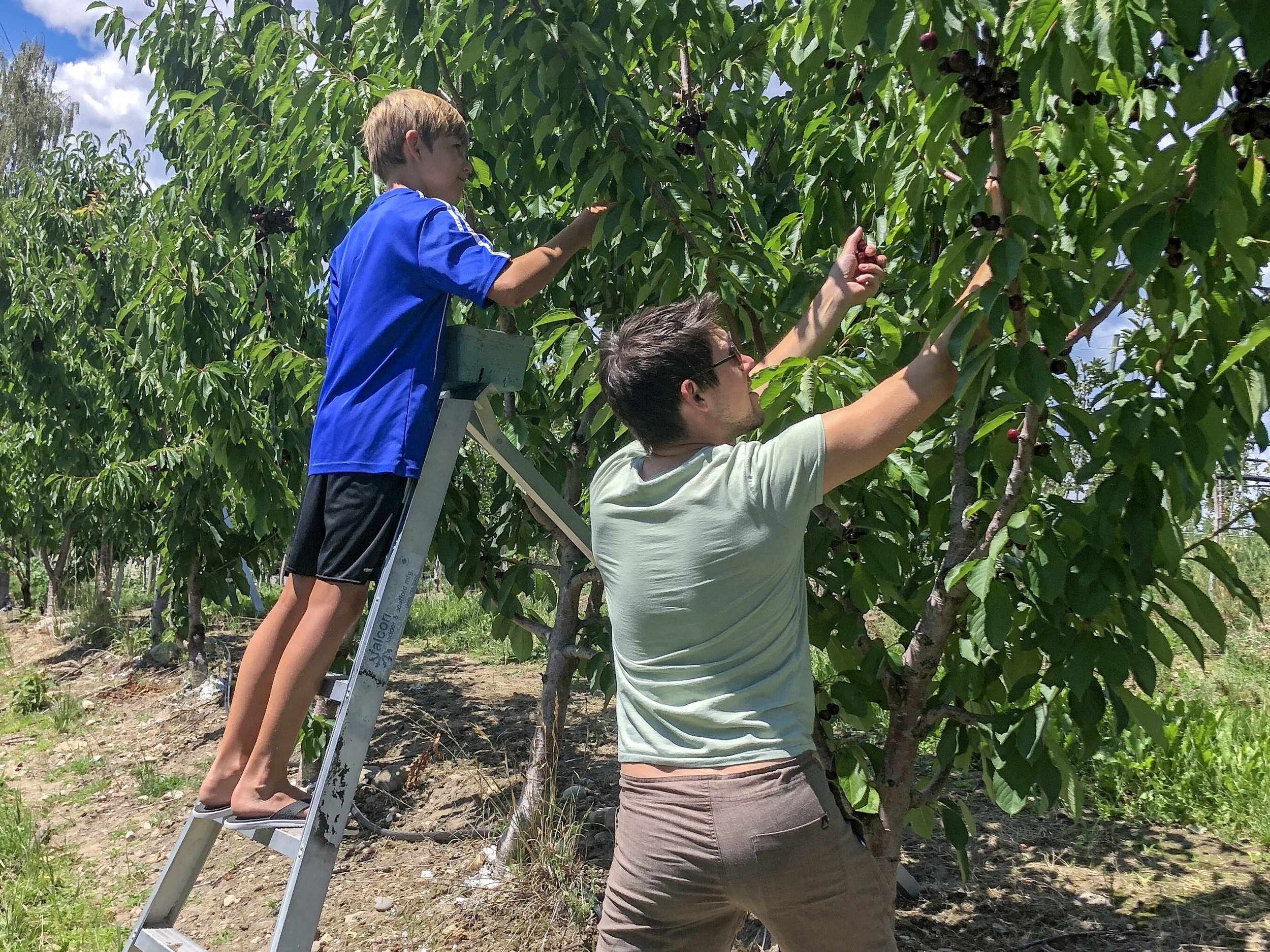 Joshua Elliott Picking Okanagan Cherries