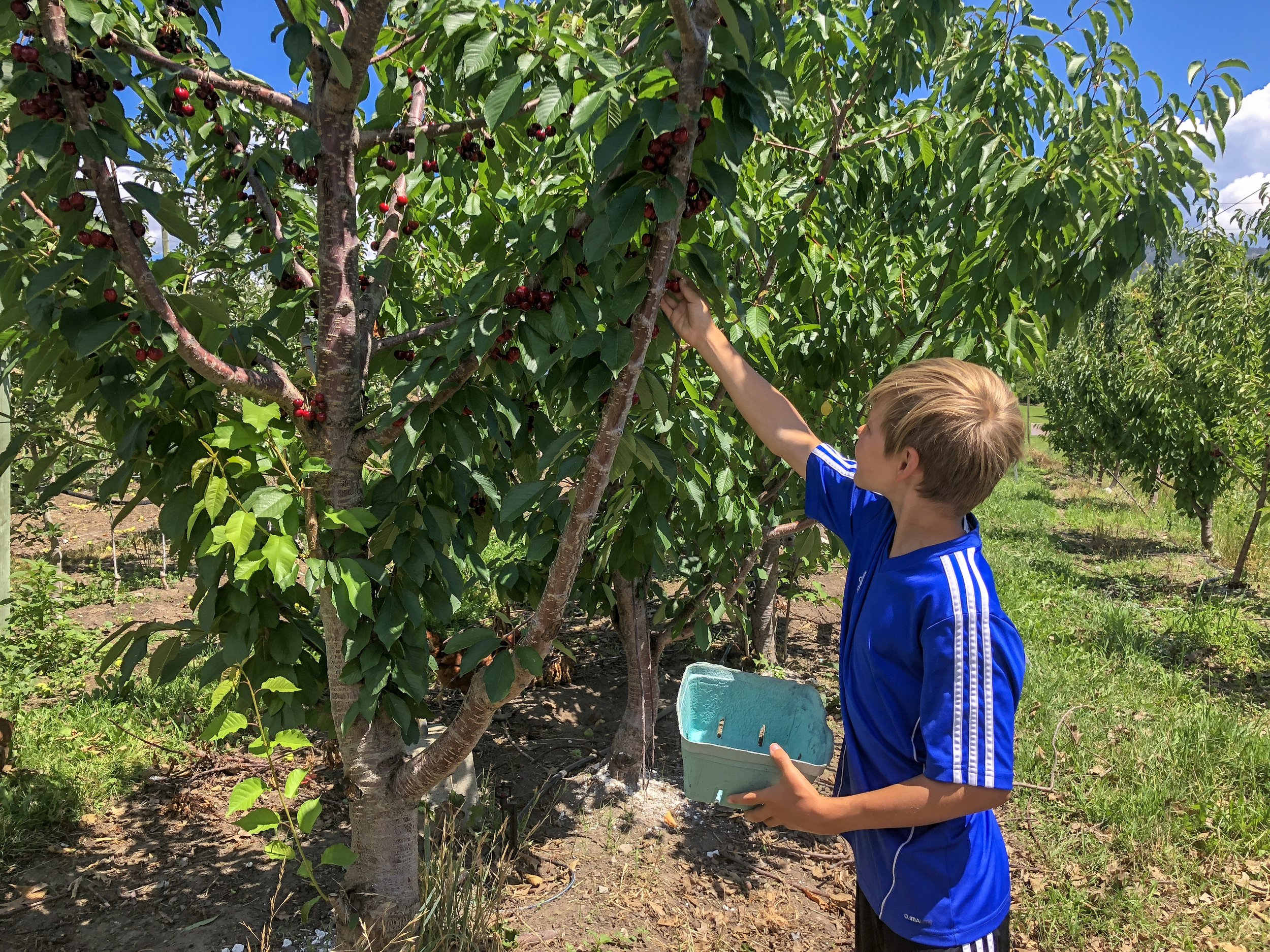 Layton Picking Okanagan Cherries