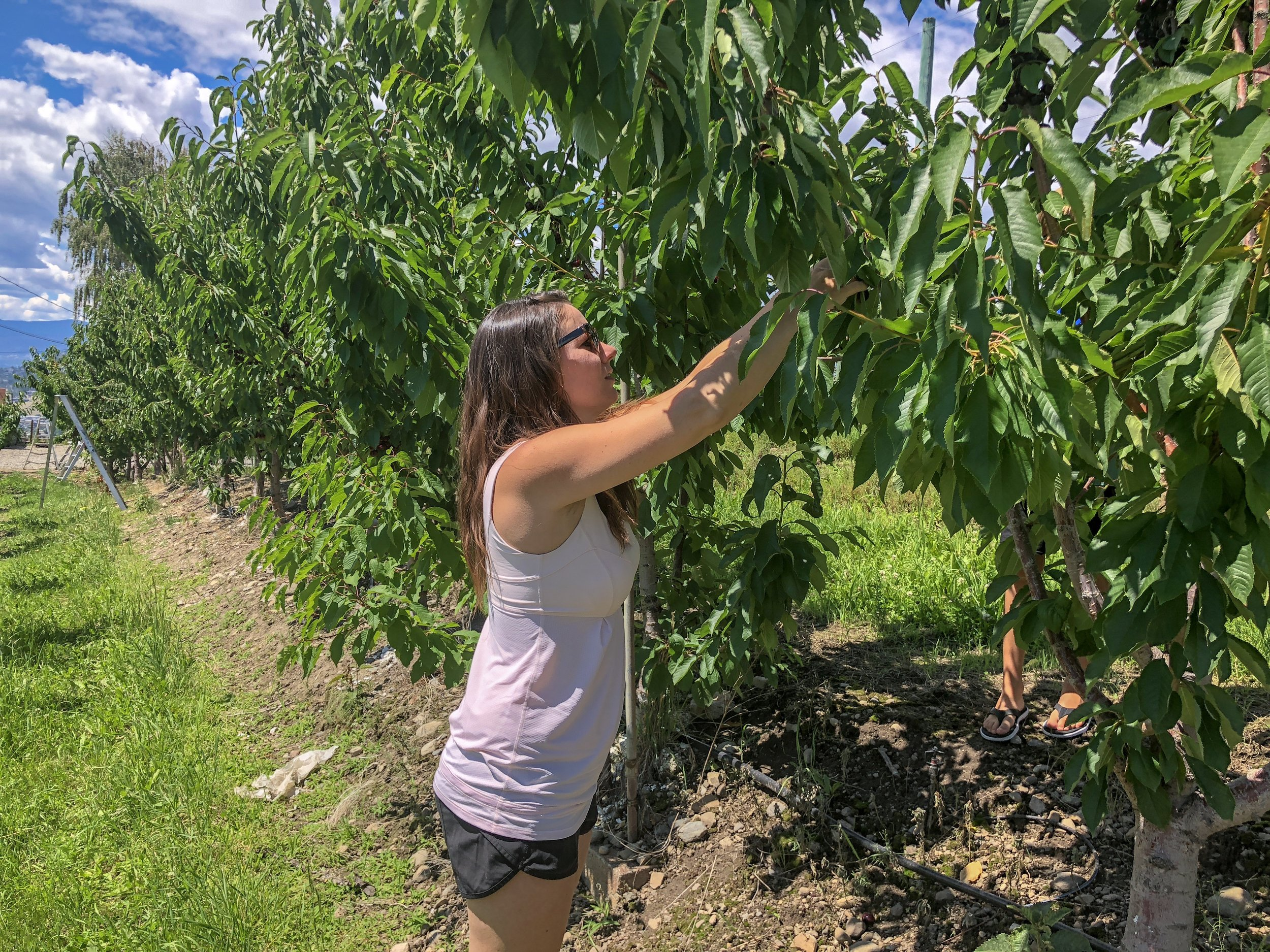 Sarah Picking Okanagan Cherries