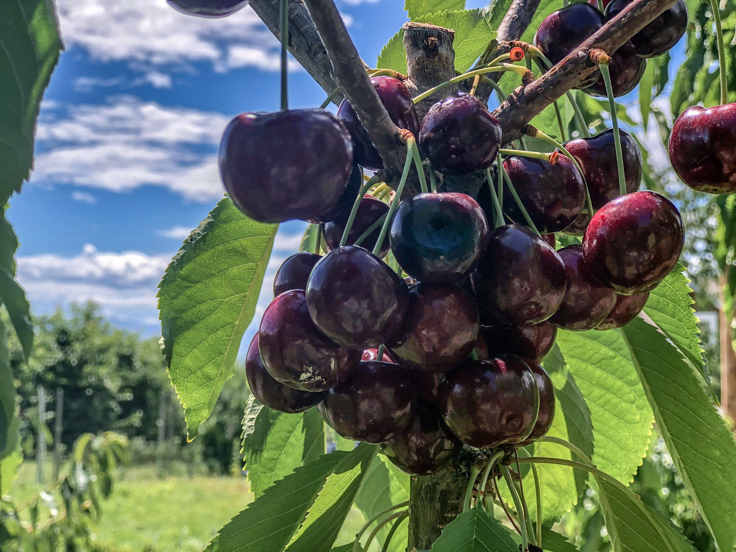 Don't these Okanagan cherries look delicious?
