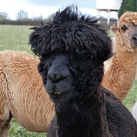 "Tempeste    DOB: 09/06/13    Colour: Black    About: tempeste is our '""grinning alpaca"" as she always looks like she has a huge smile on her face. tempeste is a very strong character and always gets her own way. she won't hesitate to come over and steal a few treats if they are on offer! tempeste is quite a special lady to us, too; in 2014, she won national black champion at one of the alpaca shows."