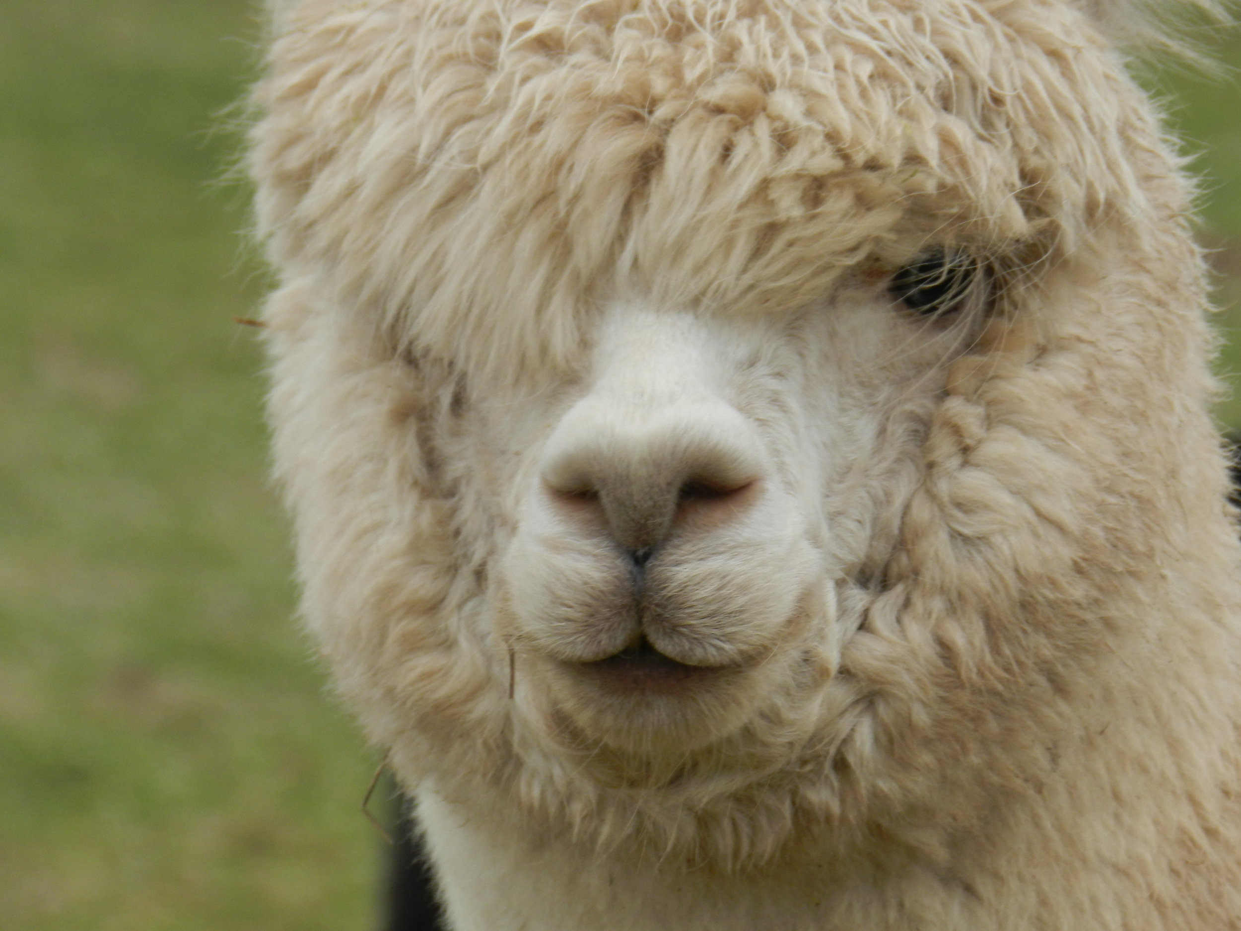 TIME AND TIDE    DOB: 17/06/16    Colour: WHITE    About: tIME AND TIDE HAD HER FIRST MATING IN 2018 AND SHE HAS PROVED TO BE SUCH A FANTASTIC MUM FROM THE ONSET WHEN HER FIRST BABY 'NOTUS' WAS BORN IN MAY 2019. TIME AND TIDE IS A VERY CHILLED OUT ALPACA AND LOVES A GOOD NECK SCRATCH