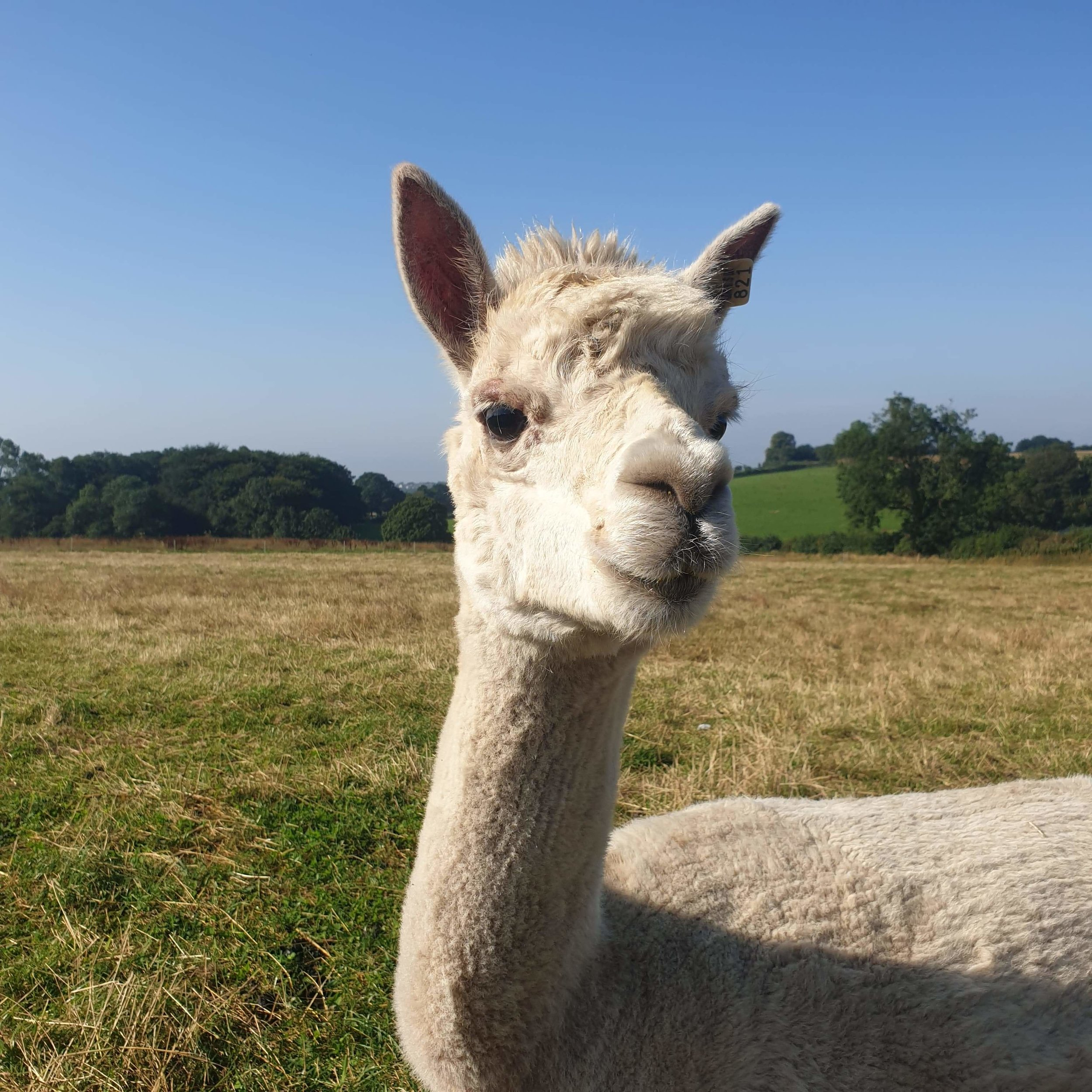 SUMMER    DOB: 30.06.08    Colour: white    Summer is one of our older ladies on the farm but that doesnt stop her loving a cuddle and a few treats. she has a very laid back attitude to life and always look forward to meeting people!