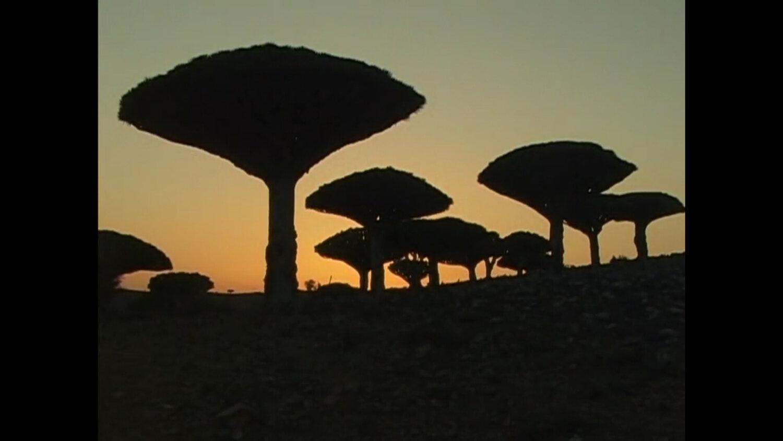 Socotra Draco tree 2.jpg