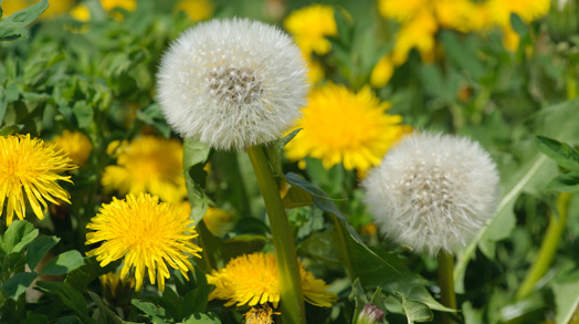 The benefits of dandelion root, as an anti-microbial!