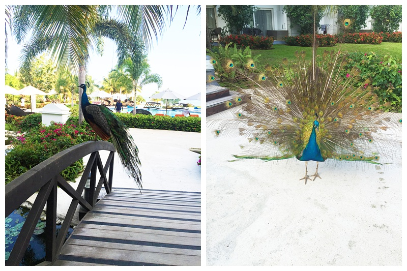 """This peacock would scream every morning right about 6am! it sounded like he was saying """"Help me"""" pretty funny."""