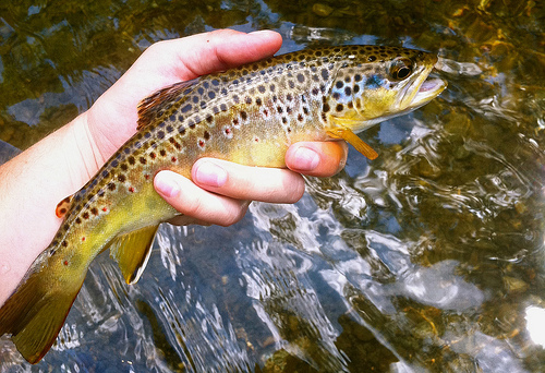 Brown Trout Stocking In Texas — Southern Trout Magazine