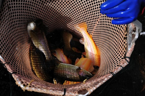 trout stocking begins in MD.jpg