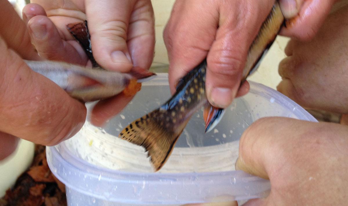wv using wild brook trout eggs.jpg