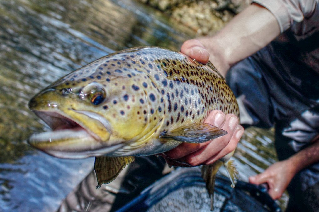 SC Protects It's Brown Trout Fishery.jpg