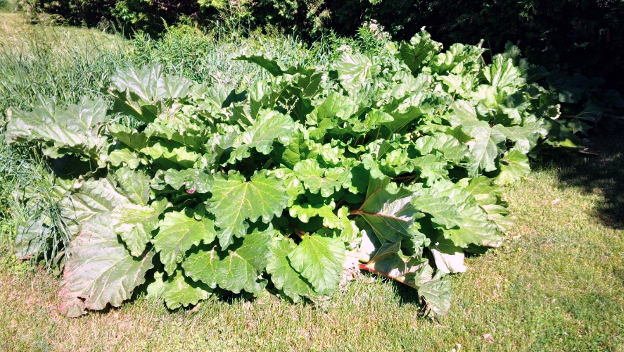 "My parents prolific rhubarb ""hedge""."