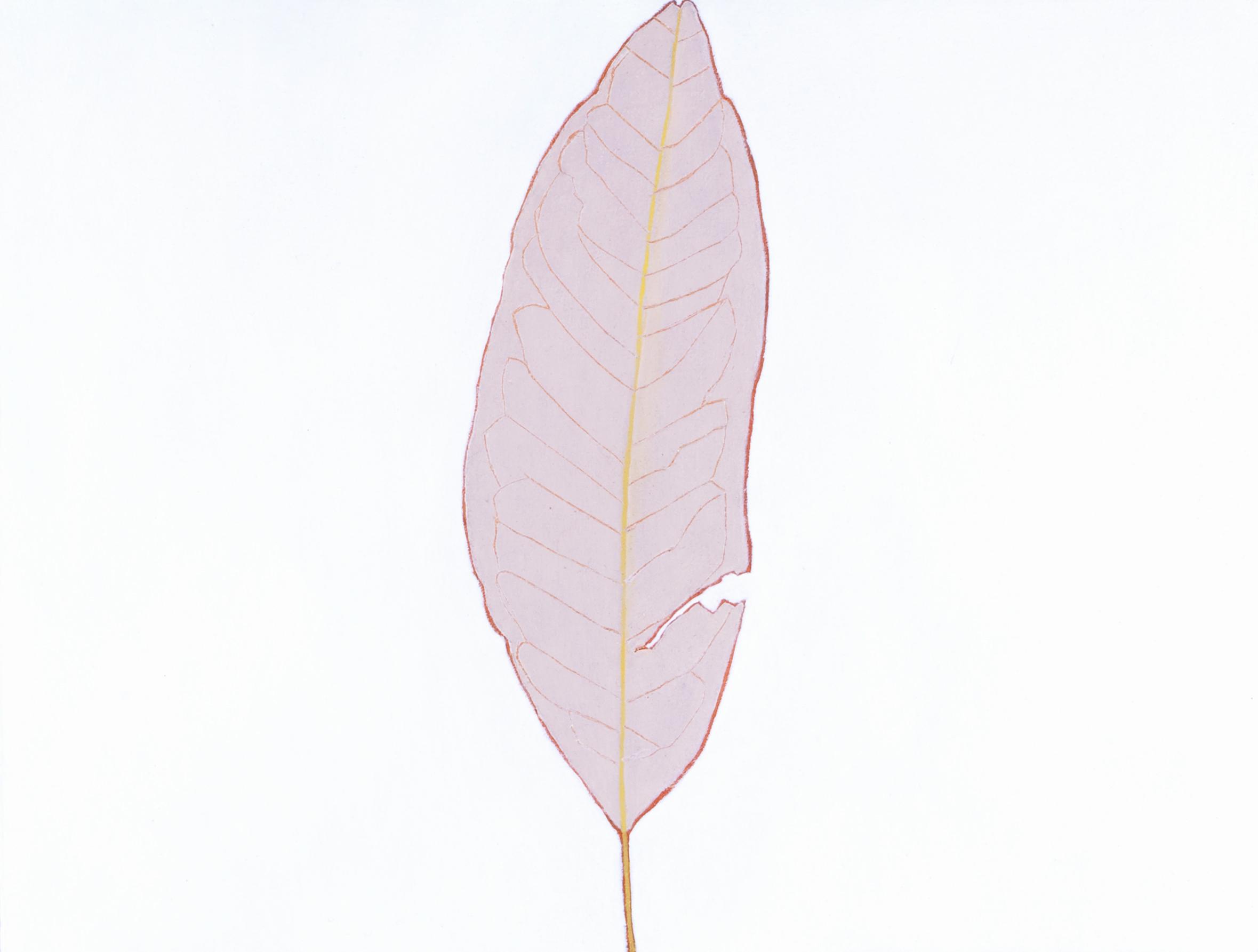 Sweetbay Magnolia