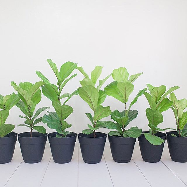 🌱 I'm selling some of my fiddle leaf fig babies! . I have 4 out of 7 babies left! Message me if you're interested. Hurry and take some of these babies away before I decide to turn my family room into a green house! 😂 It's slowly getting taken over by these rapidly growing fiddle leaf fig babies, who have all sprouted new leaves since this picture, and my tree needs to be trimmed again, which means more new babies! 😬😍🌱🌱🌱🌱🌱🌱🌱🌱🌱🌱🌱🌱🌱🌱🌱🌱 . These babies loooovvveee lots of light, so my only criteria is that you have a nice sunny spot to bring them home too! 💕 . . Swipe to see the progress these babies have made in the past year, and what the momma looked like 3 years ago 👉🏼 . . #plantlady #fiddleleaffig #canon #vscocam #vsco #plants #crazyplantlady #marciannephoto