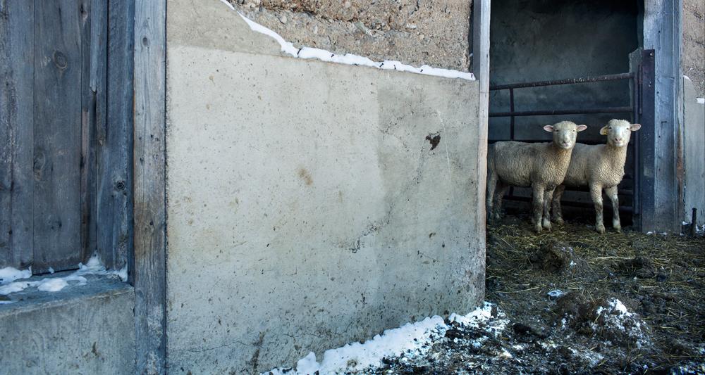 Sheep_24A8147.jpg