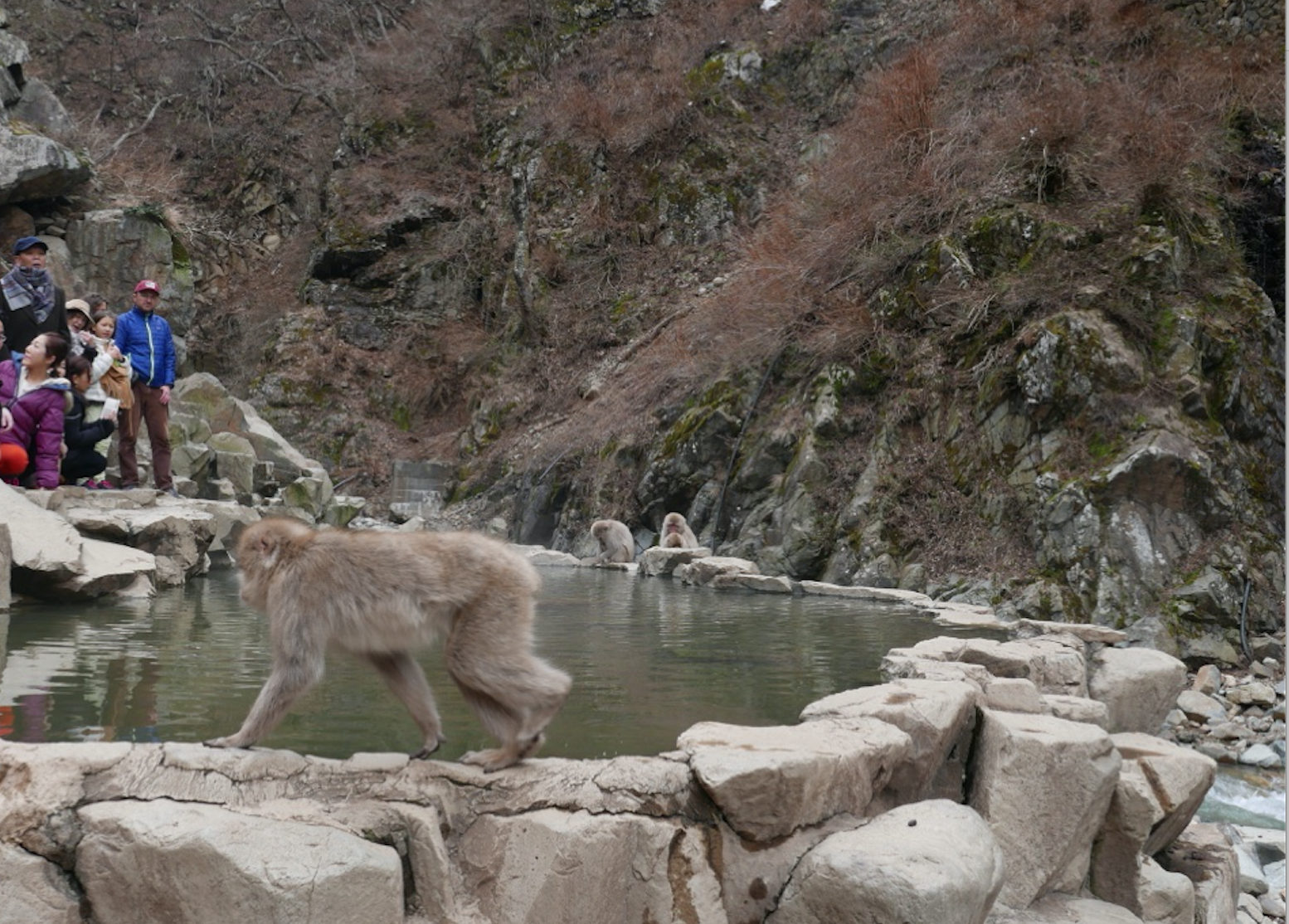 The namesakes of the festival (sans the snow.) If you are lucky and the monkeys get cold enough you can see them hanging out in the onsen (natural hot springs.)