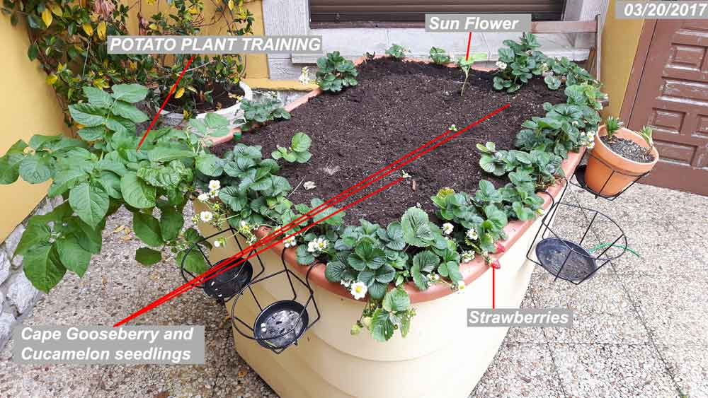 Today's Garden Update March 2017. Old Plants and top soil removed,seeds added. Cucamelon, Cape Gooseberry, Potatoes, Strawberries and a sun flower.