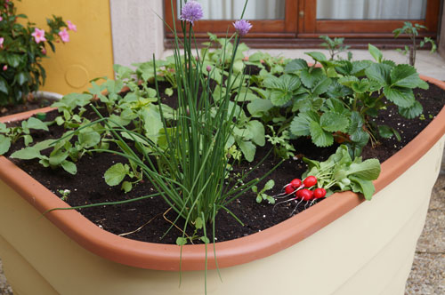 Chives and Radishes strawberry 2016