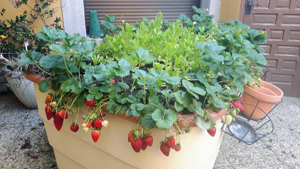 Strawberries and Cream anybody?
