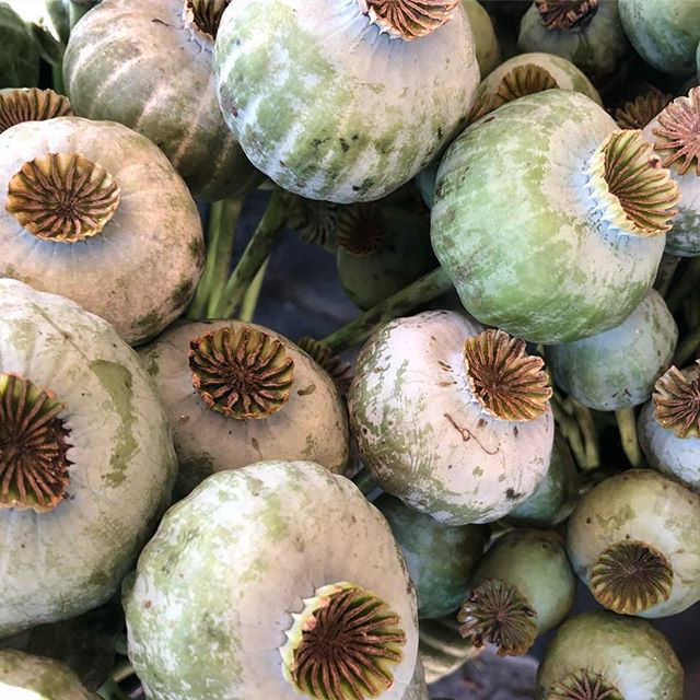 to me the perfect blend between southern hemisphere summer feeling and soft, wintery colour tones.  Love these poppy sead heads !!! Hope you all had a productive start on this monday - like myself?! #poppy #poppyseadhead #softtones #instamood #greyish #floraldecoration #instagarden #outandabout #wintery #summery #planting #floraldecoration #gardeninspiration #happymonday #plantphotography #texture #structure #landscapearchitecture  #gardendesign #mylifewithplants #plantsofinstagram #weloveplants #inspo #nofilter #plantlover #pastelltones