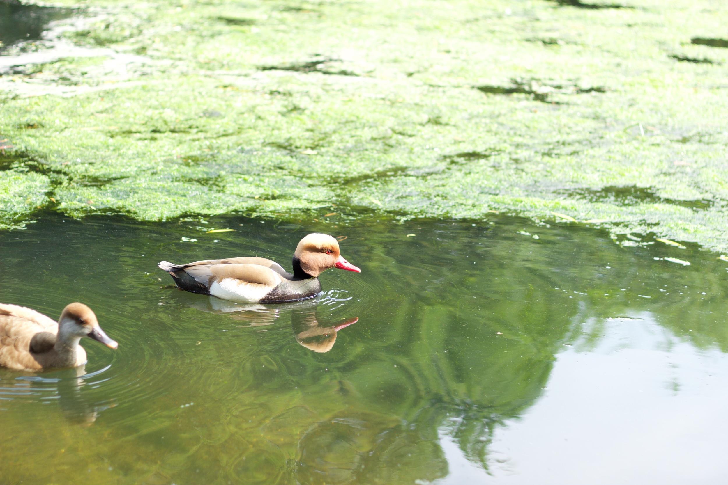 ducks st james park london