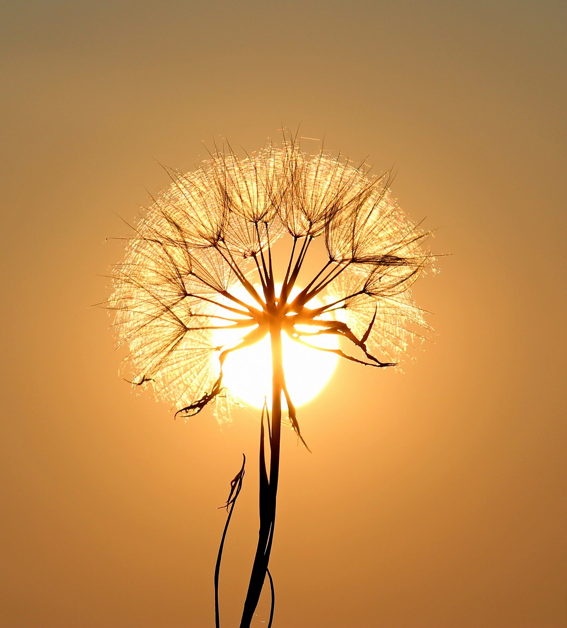 dandelion-1557110_1280.jpg