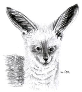 bat_eared_fox.jpg