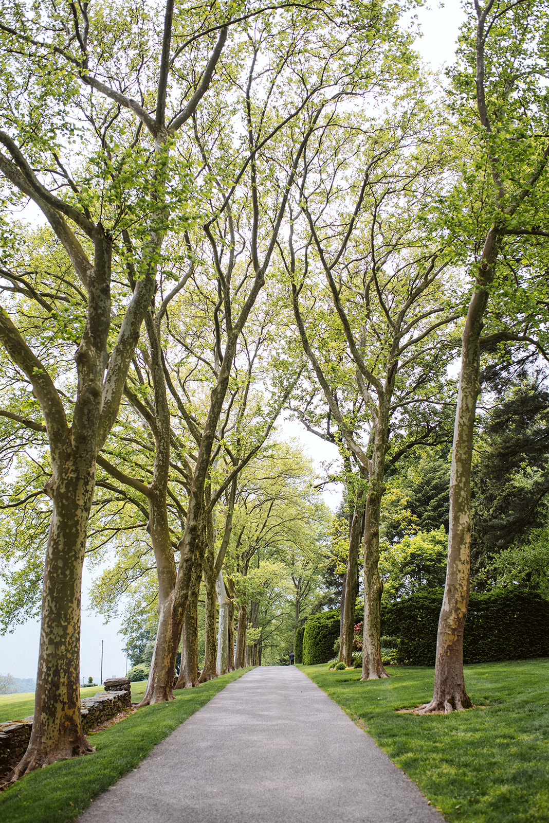 An alley of sycamore trees line the driveway up to the Drumore Estate mansion.