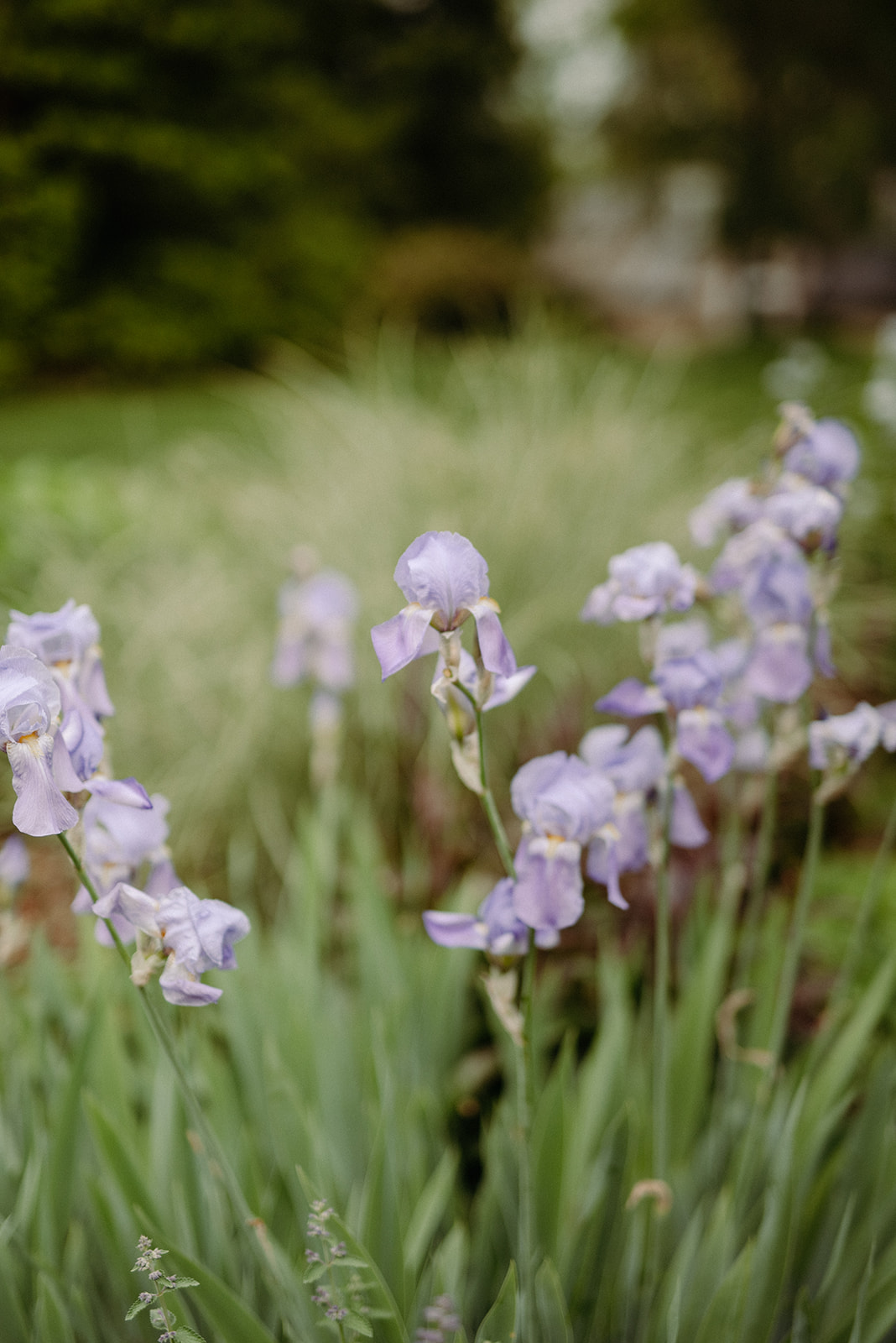 A blue flag iris within the formal gardens.