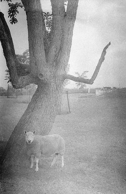 Sheep-and-Tree.jpg