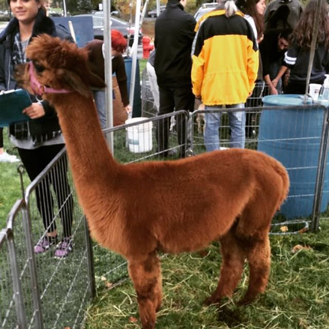 Along with plenty of academic-support related resources, Brandeis also provides resources for some classic stress busters! This is a REAL LIFE llama that graced us with its presence as part of an initiative to help students cope with anxiety and stress during finals week. It literally doesn't get better than that😍😍 ~DLB