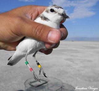Snowy_plover_resighted_Utah_breeding.jpg