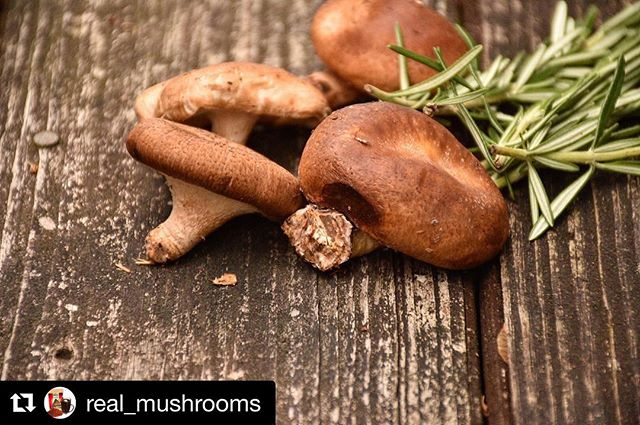 #Repost @real_mushrooms (@get_repost) ・・・ Check out these unique health benefits from the classic shiitake mushroom: •Shiitake contains specific fibers called beta glucans, which are known for their blood cholesterol lowering abilities. •Shiitake contains various polysaccharides like lentinan, which have been known to help fight against tumors by activating the immune system. •Shiitakes contain sterols, which block cholesterol absorption in the gut.  Ever tried shiitake before?! @real_mushrooms