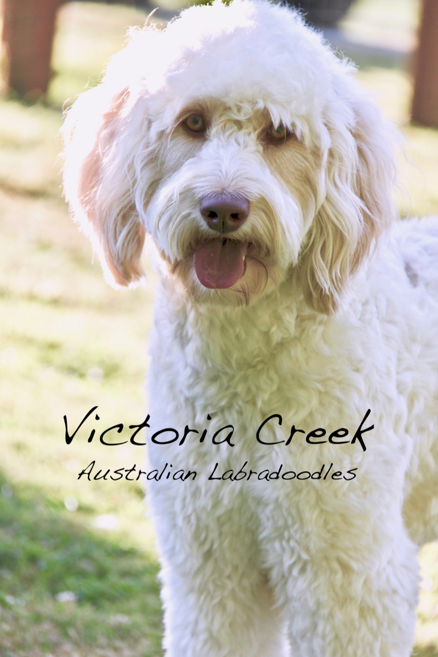 Pine Lodge Penelope - Multi-Generation Australian Labradoodle ALAA 041887  Standard Size (20 Inches at the Shoulders, 46 Pounds)