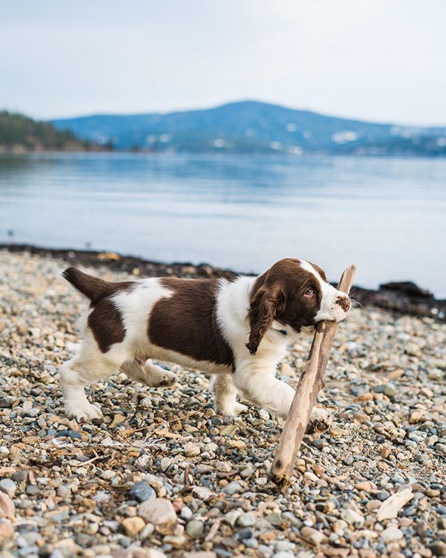 Everyone, this is Cooper. As you can tell he loves sticks, the bigger the better, and playing keep away with it is even better.  #springerspaniel #dogpirtraits #OutsideDogs #mydogist #bernernation #bernerstyle #adventuredog #pupsofthepnw #weeklyfluff #dogsofinstagram #northwestpets #liveoffleash  #traildog #explorewithdogs #campingwithdogs #idahophotographer #cda #coeurdalene #cdaidaho #downtowncda #idaho #idahome #lakedog