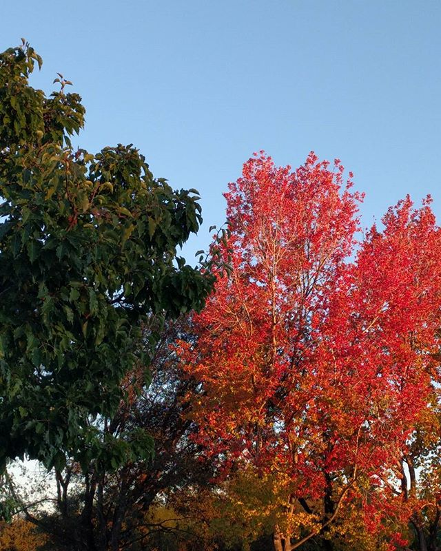 a study in contrasts: fall colors (finally!) #latergram from earlier this week #nofilter #colorstoriessmc90