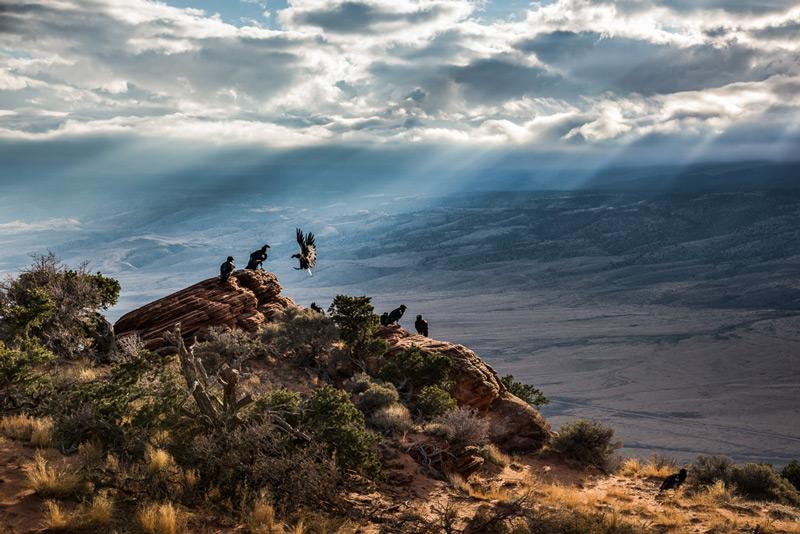 One of John's favorite photos of his beloved California Condor.