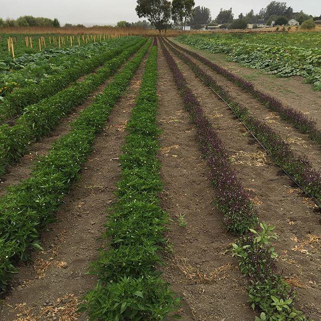 Petaluma field of basil at Allstar Organics farm. #organic #localfood #allstarorganics #petaluma #basil
