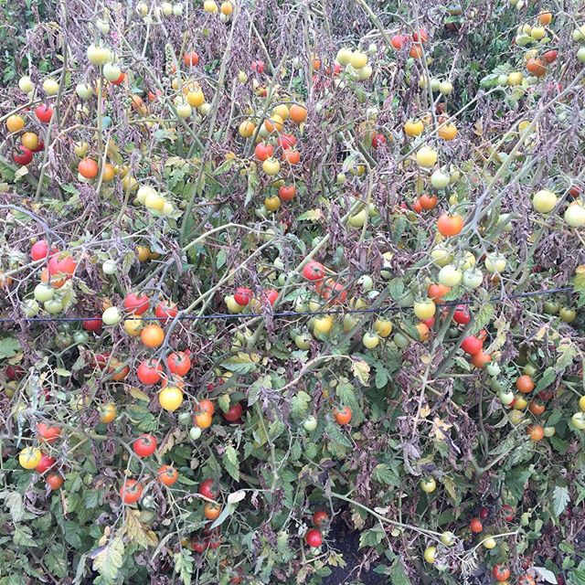 Organic Cherry tomatoes finishing off in Allstar Organics Petaluma field. #marinfarms #allstarorganics #petaluma #marinfarmersmarket #tomatoes #cherryomatoes #heirloom