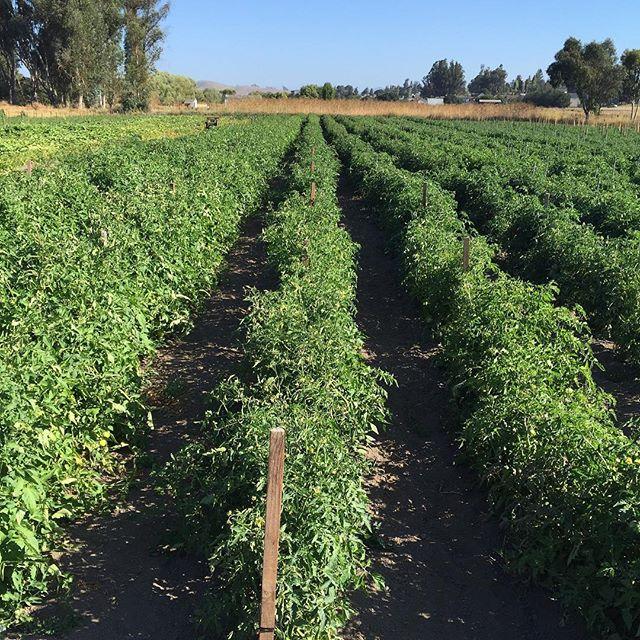 Acres of heirloom tomatoes in our Petaluma field. #allstarorganics #marinfarmersmarket #marinfarms #organic #localfood #tomatoes #organic