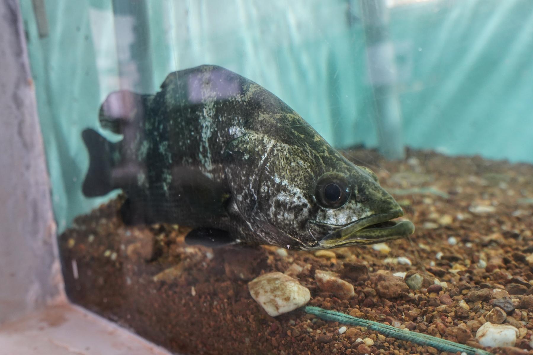 A Nile perch in the aquarium at NaFIRRI in Jinja, Uganda