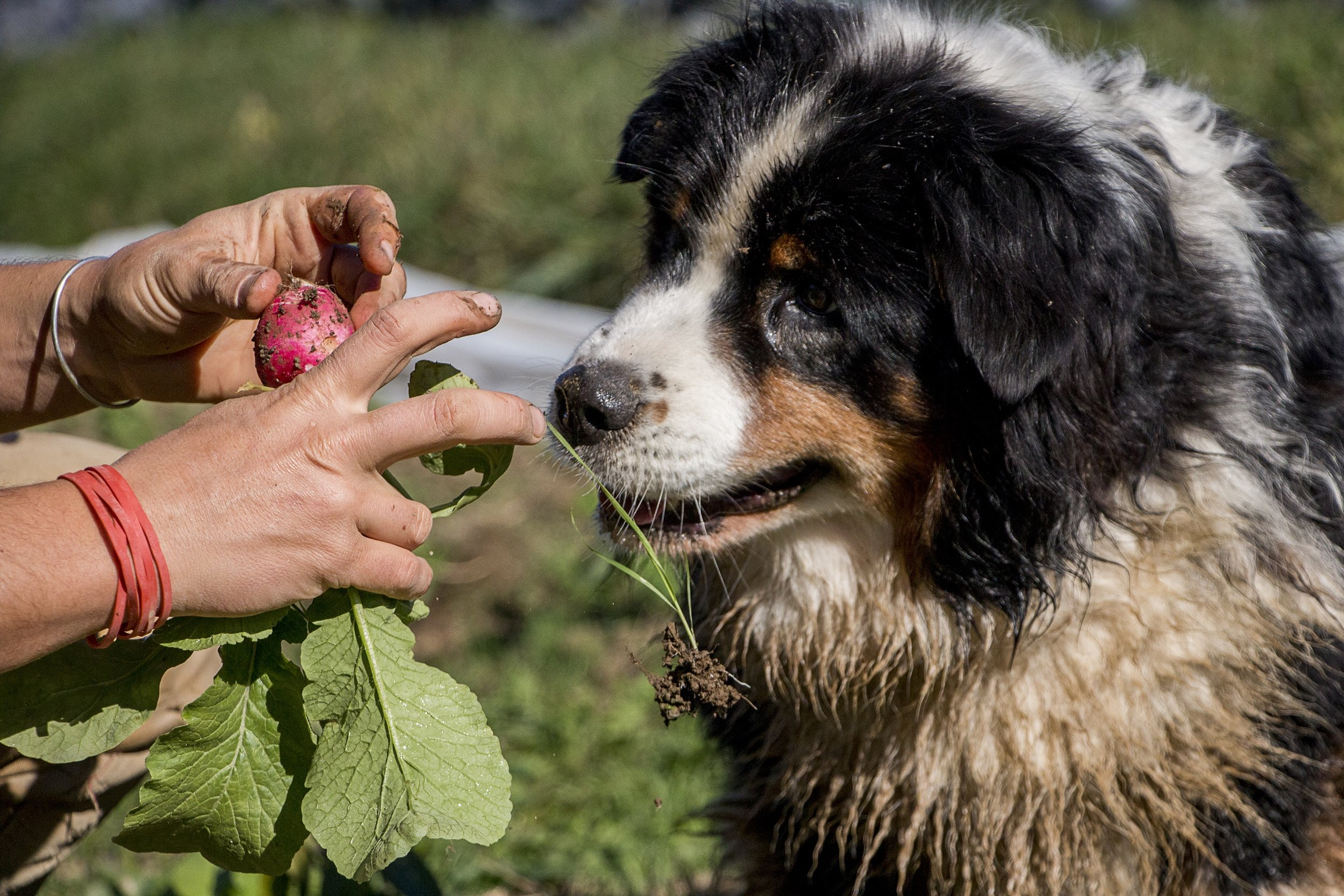 Cusolito and Munzer's border collie, Lena, eyes a recently picked radish for a snack.
