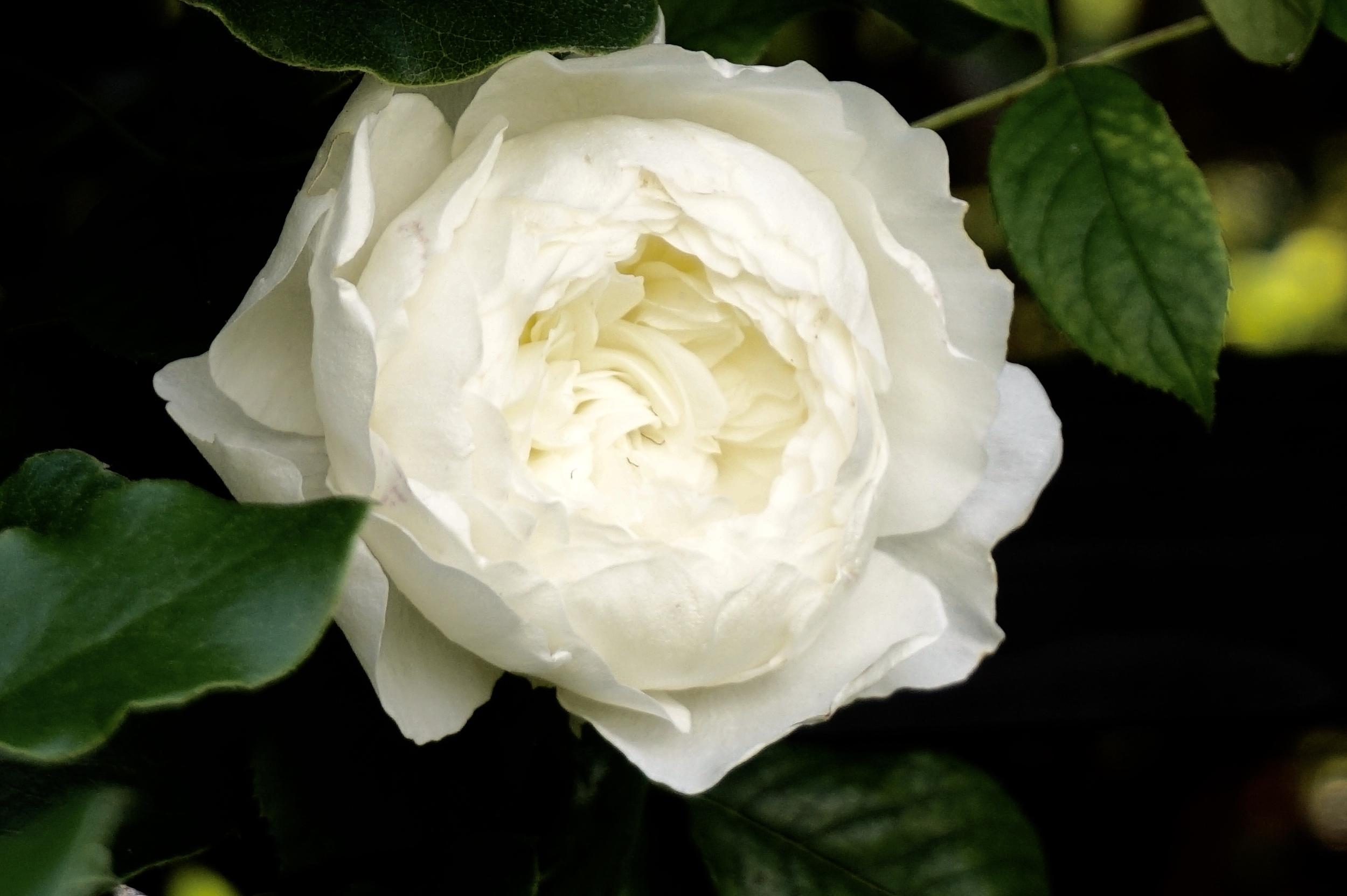 Didi + Bill's Rose