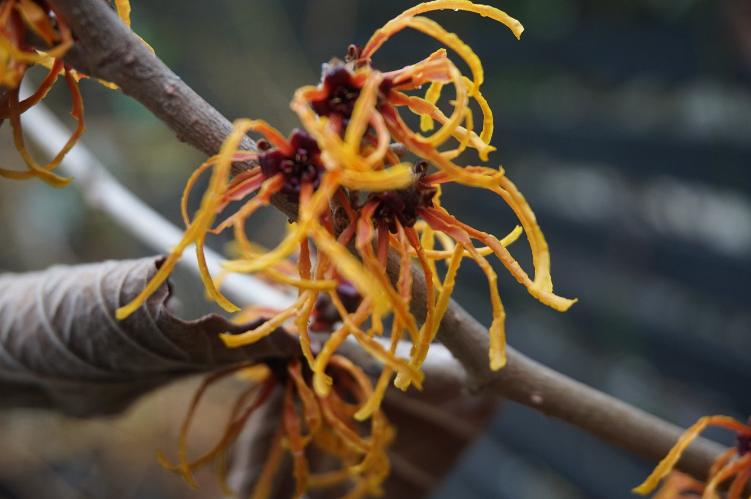 Hamamelis × intermedia 'Jelena' - a beautiful 'rust' coloured witch hazel shining out in the gloom.