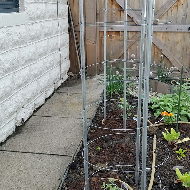These tomato cages might seem like overkill right now....but just you wait!!! And look close, the little Brandywine plant has its first flower bud :)