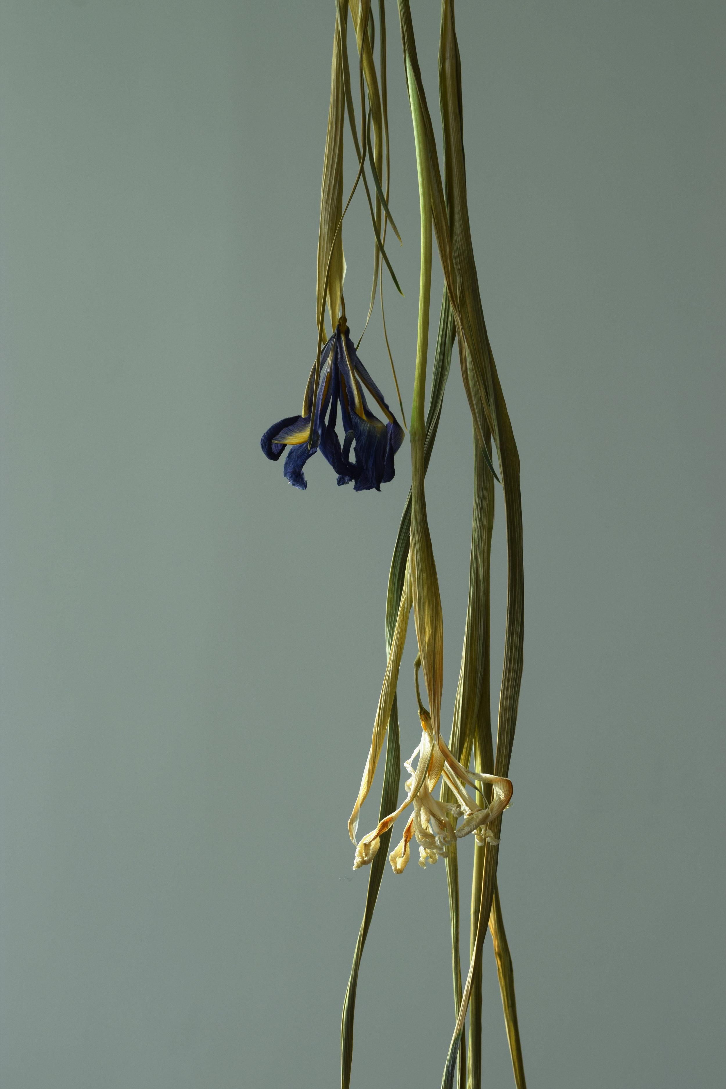 Iris 2©Detail Movement