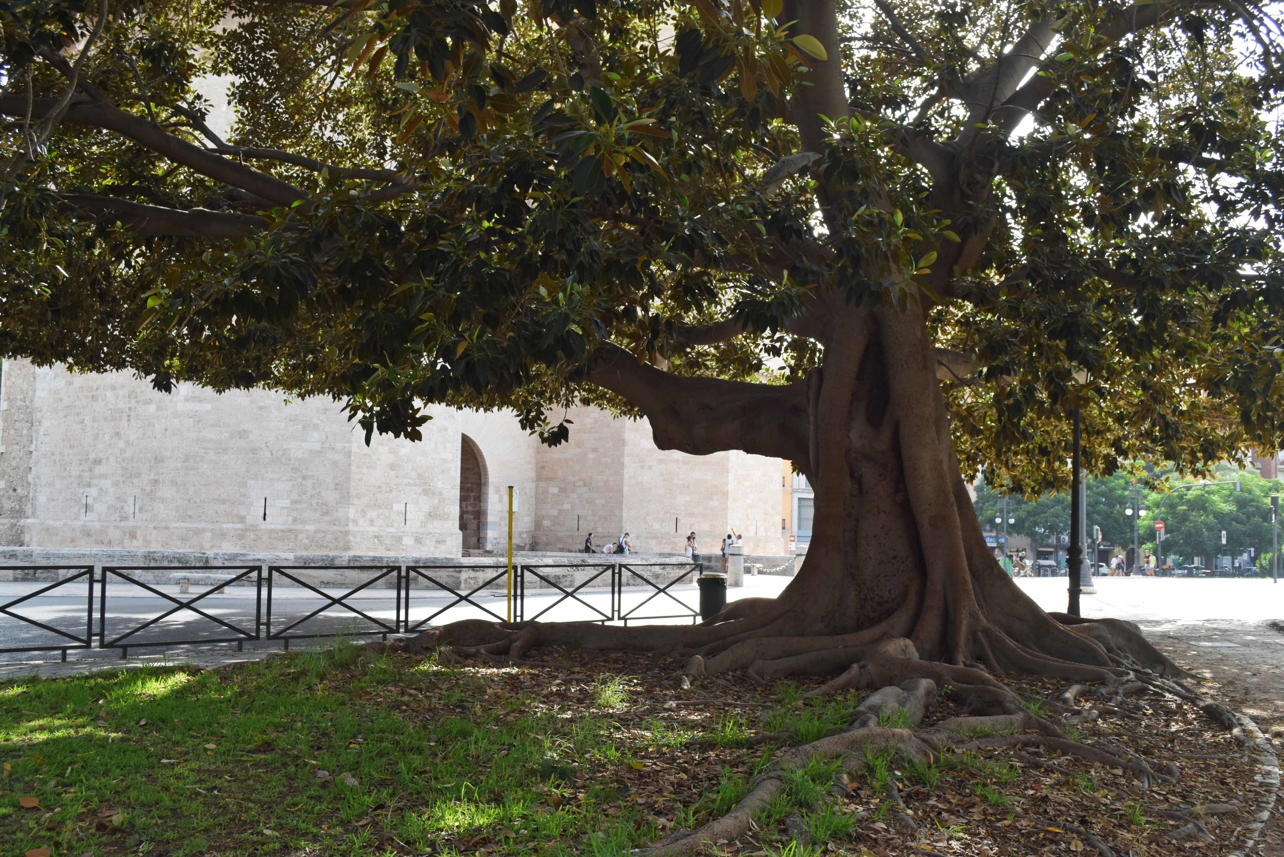 Fig old tree Valencia ©Detail Movement