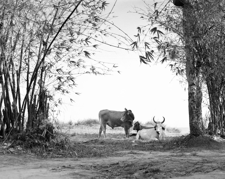 cows_BW.jpg